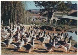 L'élevage Des Oies En Gascogne - Fermes
