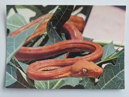 Carte Postale : Faune De GUYANE : BOA COOK, Corallus Enydris - Guyane