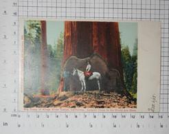 CALIFORNIA - Kings Canyon National Park, Southern Sierra Nevada, Largest Threes,1905. - VINTAGE POSTCARD - (APAT2-183) - Fresno