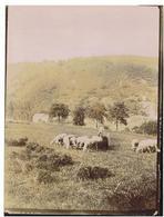 Esneux. Tilff. Les Moutons De Méry - Esneux