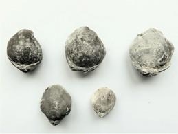 Fossile  Térébratule Mollusque Bivalve  Jurassique - Fossielen