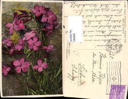 596842,Karthäuser Nelke Blumen - Botanik