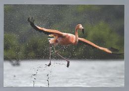 NL.- Rode Flamingo, Caribbean Flamingo, Phoenicopterus Ruber. Met Postzegel Opdruk Bonaire $0.88. Ongelopen. - Vogels