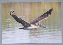 NL.- Bruine Pelikaan, Brown Pelican, Pelecanus Occidentalis. Met Postzegel Opdruk St. Maarten 285c. Ongelopen. - Vogels
