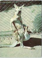 Animals - Kangaroo And Joey At Hartleys Creek Zoo - Animals