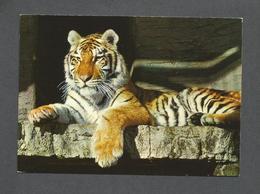 ANIMAUX - ANIMALS - TIGRE - ZOO - ZOOLOGISCHER GARTEN ZÜRICH SIBIRISCHER TIGER - BY VERLAG BERINGER & PAMPALUCHI - Lions