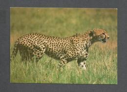ANIMAUX - ANIMALS - HUNTING CHEETAH - GUÉPARD - PHOTO POLO - Lions