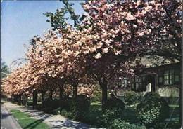 BOITSFORT - Le Logis - Cerisiers En Fleurs - Watermael-Boitsfort - Watermaal-Bosvoorde