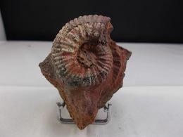 AMMONITE SUR GANGUE 5 X 4 CM MONTS DU LYONNAIS - Fossiles