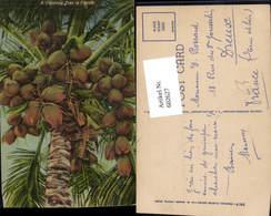 602627,A Cocoanut Tree In Florida Kokosnuss Früchte Obst Kokospalme Baum - Botanik