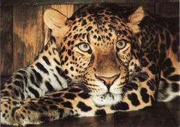 Leopard, Levhart Unused - Lions