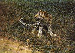 Jeune Panthere,...Leopard, Levhart Unused - Lions