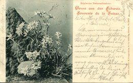 007194  Gruss Aus Der Schweiz - Edelweiss Naturaufnahme  1899 - Schweiz