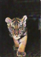 Amer  Tigre, Amur Tiger, Unused - Lions