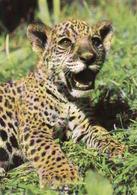 Guepard, Gepard, Unused - Lions