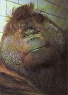 Monkey, Orang-outan De Borneo, Borneo Orangutan, Used - Singes