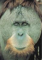 Monkey, Orang-outan De Borneo, Borneo Orangutan, Singe, Unused - Singes