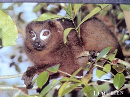 COMORES - Lemurien Mongoz Lemur - Comores