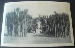 EUFORBIA  CANDELABRO - Erythrée
