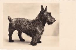 Scottish Terrier   Chien  Hunde Cane Dog Cpa. 1936 - Honden