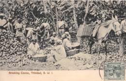 10754 - Trinidad - Breaking Cocoa - Trinidad