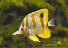 """France Aquarium Tropical Nancy Poisson Fish Molluscs """"Chelmon Mediocre Beak"""" - Poissons Et Crustacés"""
