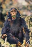 Afrique Africa Fauna Singe Monkey - Singes