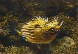 "France Aquarium Tropical Nancy Poisson Fish Molluscs ""Spotted Hedgehog Fish"" - Poissons Et Crustacés"