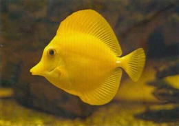 """France Aquarium Tropical Nancy Poisson Fish Molluscs """"Yellow Surgeon"""" Chirurgien Jaune - Poissons Et Crustacés"""