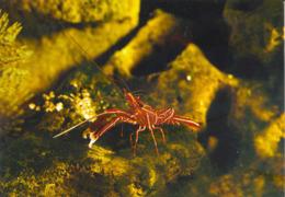 """France Aquarium Tropical Nancy Poisson Fish Molluscs Shrimp """"Crevette Bossue"""" - Poissons Et Crustacés"""