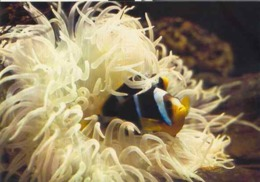 "France Aquarium Tropical Nancy Poisson Fish Molluscs ""Allard Clownfish"" Poisson Clown - Poissons Et Crustacés"