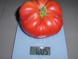 30 Graines Tomates RUSSE BIO - 2. Semi