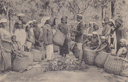Weighing The Green Tea Leaf   (190315) - Sri Lanka (Ceylon)