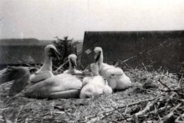 Photo Originale Ciconiidés - Nid Ce Cigogne Blanche (Ciconia Ciconia) Et Ses 5 Cigogneaux - Personnes Anonymes