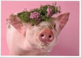 Pig, Porc, Cerdo, Schwein - Cochons