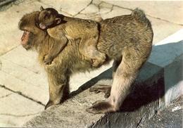 Gibraltar - Rock Ape - Mono Del Peñon - Mother And Baby - Rock Photographic Service Nº C 40 - 6324 - Gibraltar