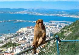 Gibraltar - Rock Ape - Mono Del Peñon - Rock Photographic Service Nº C 24 - 6325 - Gibraltar