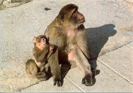 Gibraltar - Rock Ape - Mono Del Peñon - Mother And Baby - Rock Photographic Service Nº C 41 - 6326 - Gibraltar