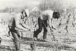 SAINT-DENIS-DE-VAUX (71). M. Saint-Arroman Fils, Viticulteur: Coupe De La Vigne, Jeudi 19 Avril 1984 - Vignes
