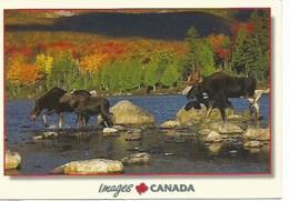 Amerique : Canada : Orignaux 120X170 - Ontario