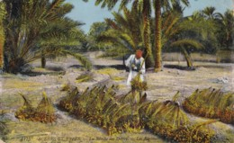 AN88 Ethnic - Scenes Et Types, La Recolle Des Dattes, Les Regimes - Africa