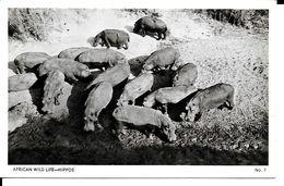 AFRICAN WILD  LIFE  HIPPOS - Flusspferde