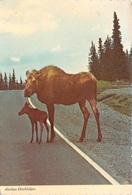 Alaska - Alaskan Hitchhikers - Moose élan - Etats-Unis