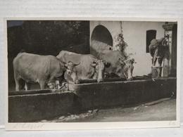Elevage. Vaches à L'Abreuvoir - Elevage