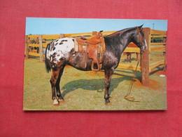 Grand Champion Appaloosa Gelding    Ref 3229 - Cavalli