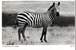 AFRICAN WILD  LIFE   ZEBRA - Zèbres
