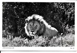 AFRICAN  WILD  LIFE - Lions