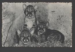 Poema / Puma - Poema's, In De Zoo Geboren / Pumas - Dierentuin Antwerpen - 1955 - Autres