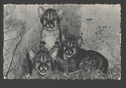 Poema / Puma - Poema's, In De Zoo Geboren / Pumas - Dierentuin Antwerpen - 1955 - Dieren