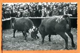 LOL379, Combat De Reines En Valais, Vaches D'Hérens, Photo Raymond Schmid, 304, Non Circulée - VS Valais